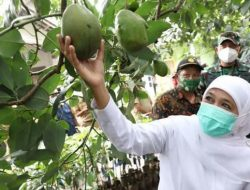 Kementan Kucurkan KUR Rp 70 T untuk Kembangkan Porang dan Alpukat Pameling di Jatim