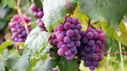 6 Tahap Menanam Anggur di Rumah dan Apartemen