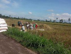 Hasil Panen Menurun Akibat Hama Wereng, Petani: Biasanya 20 Karung Sekarang 8 Karung