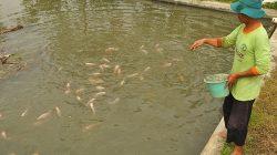 Pemberian pakan ikan