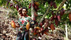 ilustrasi: petani kakao
