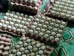 Peternak Itik Food Estate di Kalimantan Tengah Panen Hasil