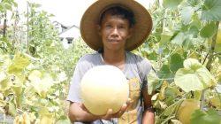 Lika-Liku Perjuangan Petani Melon di Kudus untuk Dapatkan Hasil Bagus