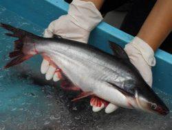 Penjelasan Pakar UNAIR Tentang Teknologi Laserpunktur dalam Budidaya Ikan