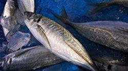 Perindo Penuhi Permintaan Ekspor 150 Ton Ikan Kembung dari Thailand