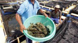 NTT Akan Segera Ekspor 1 Juta Lebih Ikan Kakap dan Kerapu Hasil Budidaya