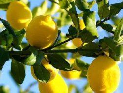 Sudah Lama Menanam Lemon Tapi Belum Berbuah? Ini Solusinya