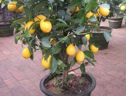 Hanya 5 Langkah, Begini Cara Mudah Menanam Lemon Dalam Pot