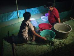 Curah Hujan Tinggi, Petambak Rumput Laut di Bone Beralih ke Ikan Nila