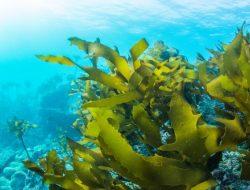 Rumput Laut Bisa Berperan Besar Hadapi Perubahan Iklim
