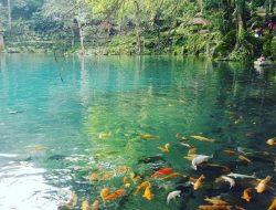Melihat Ratusan Ikan Mas yang Menambah Pesona Telaga Biru Cicerem