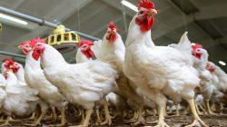 RI Kalah Soal Importasi Ayam Brazil