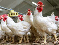 RI Kalah Soal Importasi Ayam Brazil, PKS: Nasib 170 Ribu Peternak Lokal di Ujung Tanduk