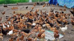 Beternak ayam kampung secara Semi Intensif