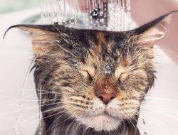 10 Langkah Memandikan Kucing, Lakukan Ini Agar Tidak Dicakar