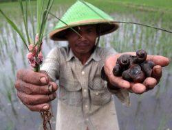 Petani ManfaatkanHama Keong Mas Jadi Pakan Ternak Bebek