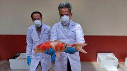 Ratusan Ikan Koi Asal Jepang Bawa Virus, BKIPM Lakukan Pemusnahan