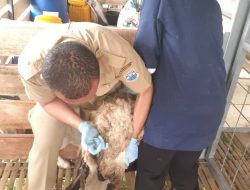 Dispangtan Cimahi Sediakan Layanan Pengobatan Ternak, Gratis!