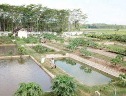 Manfaatkan Lahan Potensial, Warga Lumajang Budidaya Ikan Konsumsi dan Ikan Hias