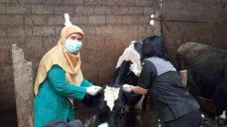 Dispangtan Salatiga Adakan Pengobatan Masal untuk 1.000 Ternak Warga