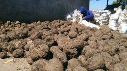 Mengumpulkan hasil panen tanaman porang
