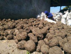 Dari Belantik Sapi Banting Setir Jadi Petani Porang, Ditengarai Keuntungan yang Berlipat