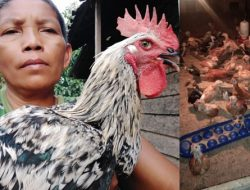 Berinovasi di Tengah Pandemi, Aris Beternak Puyuh, Ayam hingga Maggot