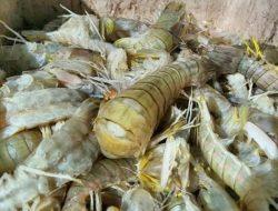 Udang Belalang, Produk Perikanan Asal Jambi yang Paling Diminati Pasar Ekspor