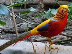 Jatuh Cinta dengan Ayam Pheasant, Peternak Asal Sleman Ini Cuan Ratusan Juta
