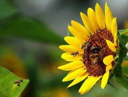 Intip Proses Simbiosis Mutualisme Antara Lebah dan Bunga Matahari