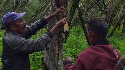 Metode Sadap Benang, Cara Lain Menyadap Pohon Karet