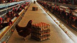 Usaha peternakan ayam petelur