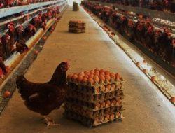 Gegara Harga Pakan Naik Harga Telur Ikut Naik, Pemerintah Lakukan Ini