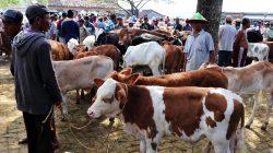 Jual Beli Ternak di Kediri Harus Dilengkapi SKKH untuk Cegah Penularan Antraks