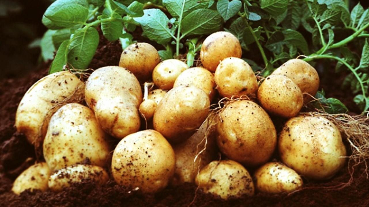 tanaman umbi kentang