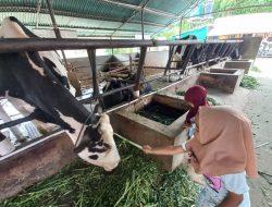 Wisata Peternakan Sapi Perah yang Tetap Menarik saat Pandemi