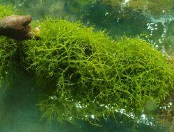 Rumput Laut Juga Bisa Diolah Menjadi Bioplastik