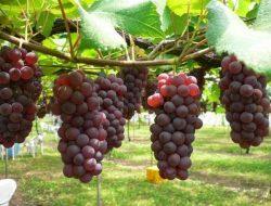Khas Probolinggo, Anggur Prabu Bestari Tak Kalah dengan Anggur Impor