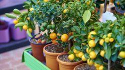 Ilustrasi tanaman buah dalam pot