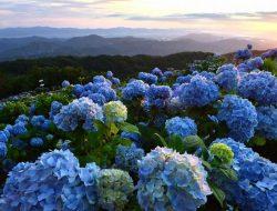 Sudah Tahu? Begini Cara Mengubah Warna Bunga Hortensia Sesuai Keinginanmu