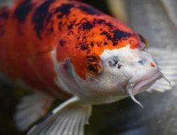 Kenali Berbagai Jenis Penyakit Ikan Koi dan Cara Mengatasinya