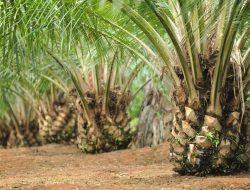 Usaha Perkebunan Kelapa Sawit di Batanghari Diduga Tidak Kantongi Izin