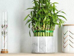 Masih Susah Merawat Lucky Bamboo? Begini Caranya