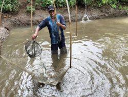 Hanya Jangkau Pasar Lokal, Budidaya Ikan Nila Black Prima di Tasikmalaya Untung Rp 10 Juta