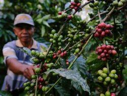 Sukses Tingkatkan Produktivitas, Petani Kopi Raup Cuan hingga Bangun Peternakan Kambing