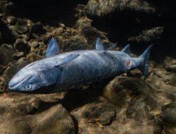 Suhu Panas Ekstrem Picu Kematian Jutaan Ikan Salmon di Sungai Columbia