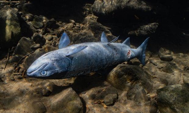 Salmon di sungai Columbia