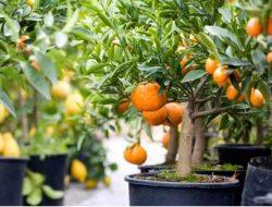 Ingin Memiliki Kebun Buah di Lahan Sempit? Begini Triknya!