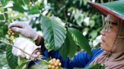 Wujudkan Kampung Kopi, Petani Alastuwo Mulai Terapkan Budidaya yang Benar