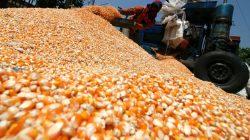 angkut jagung